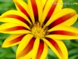 gazania flower picture