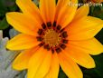 bright orange gazania flower picture