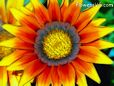 orange yellow gazania flower picture