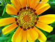 annual gazania flower picture