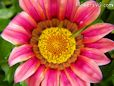 pink gazania flower picture