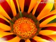 red white gazania flower picture