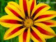 red yellow gazania flower picture