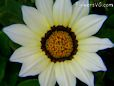 white gazania flower picture