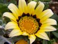 yellow black gazania flower picture