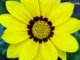 bright yellow gazania flower picture