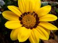 yell gazania flower picture