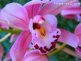 Orchid flower picture