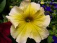 yellow petunia picture