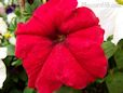 red petunia picture