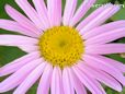 white pink daisy flower picture