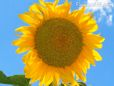 Sunflower flower picture