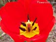 bloomed tulip pictures