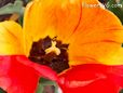 Yellow red black bloomed tulip pictures