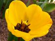 yellow black bloomed tulip pictures