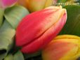 red Yellow cut tulip picture