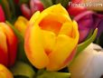 yellow pink cut tulip picture