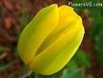 yellow cut tulip picture