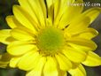 yellow daisy flower picture