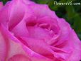 white pink rose flower pictures
