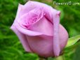 light purple rose flower pictures
