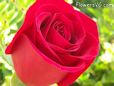 bright red rose flower pictures