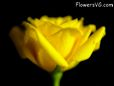 Yellow rose flower pictures