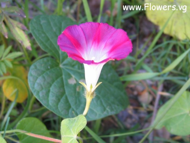 Photo morning-glory007.jpg